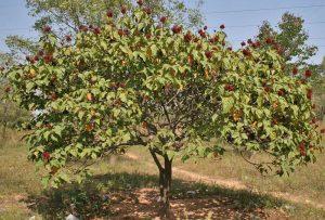 Árvore de Urucum