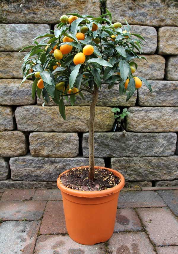 Oranger dans un pot