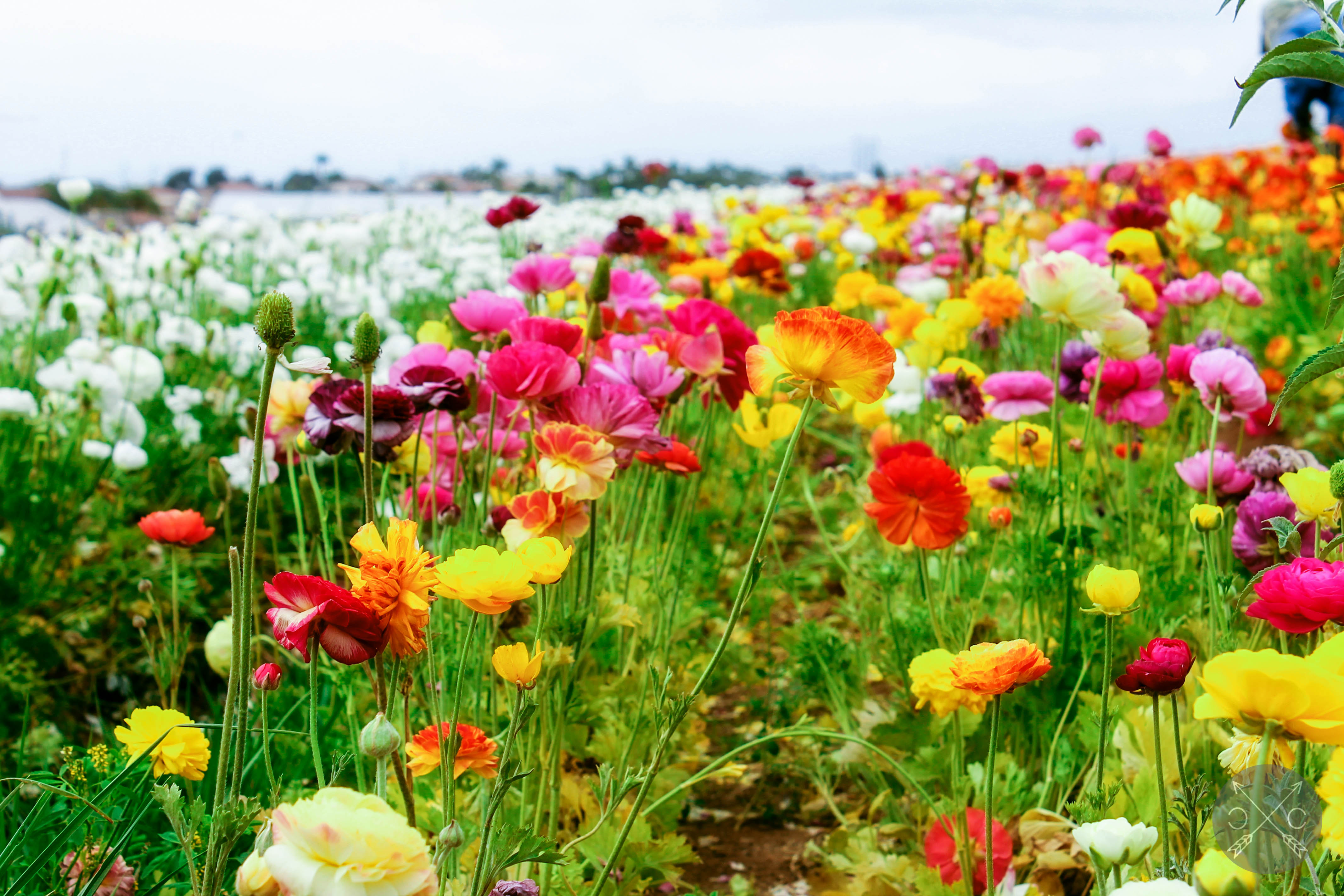 THE FLOWER FIELDS AT CARLSBAD RANCH Cultural Chromatics