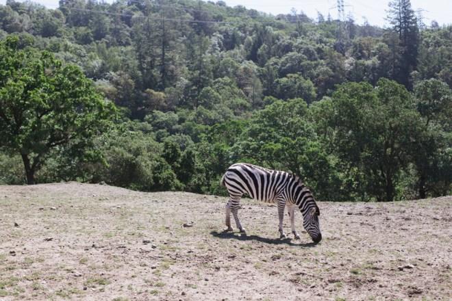 Safari West © Cultural Chromatics-10