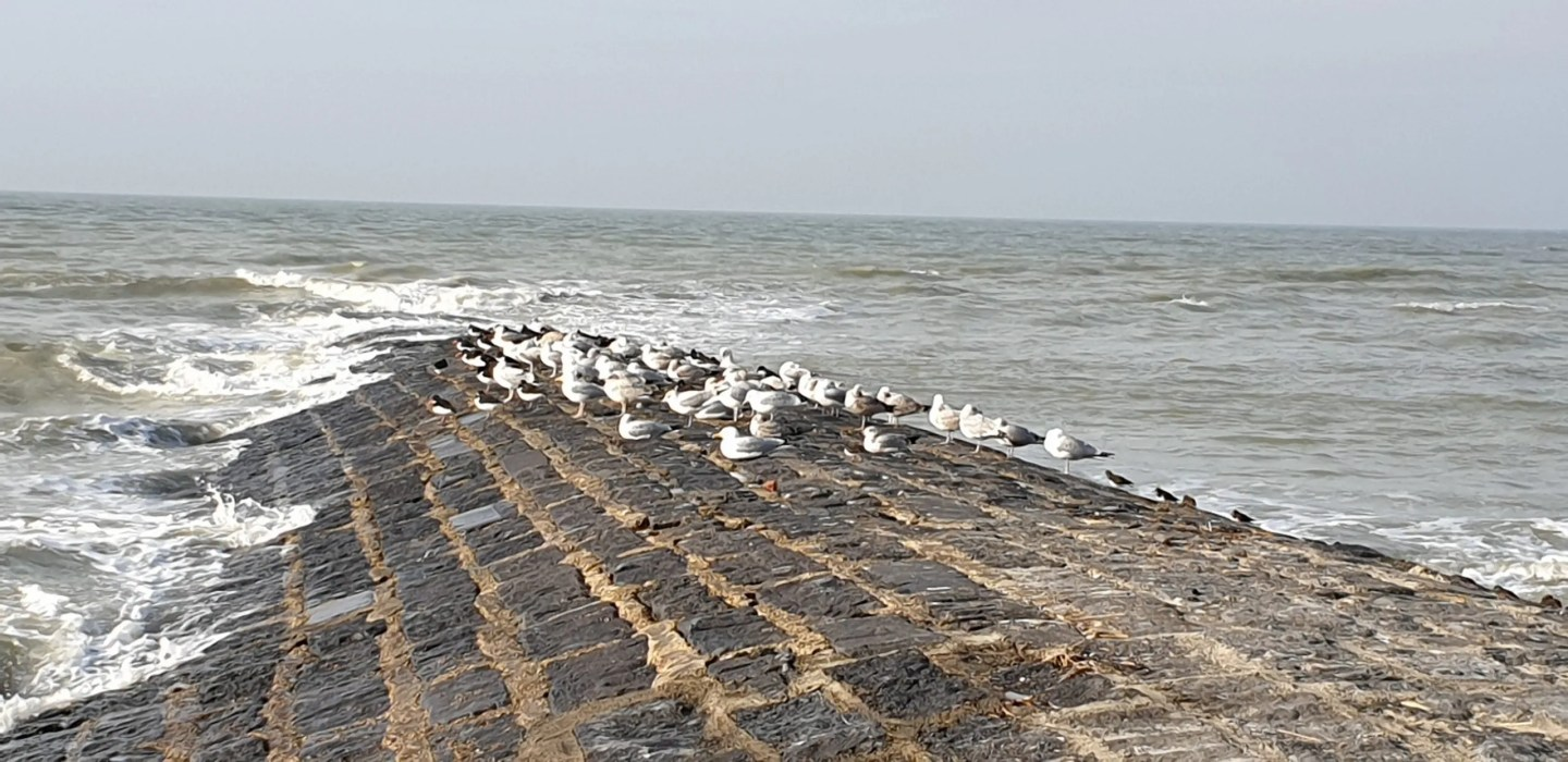 Sea birds Breakwater Belgium