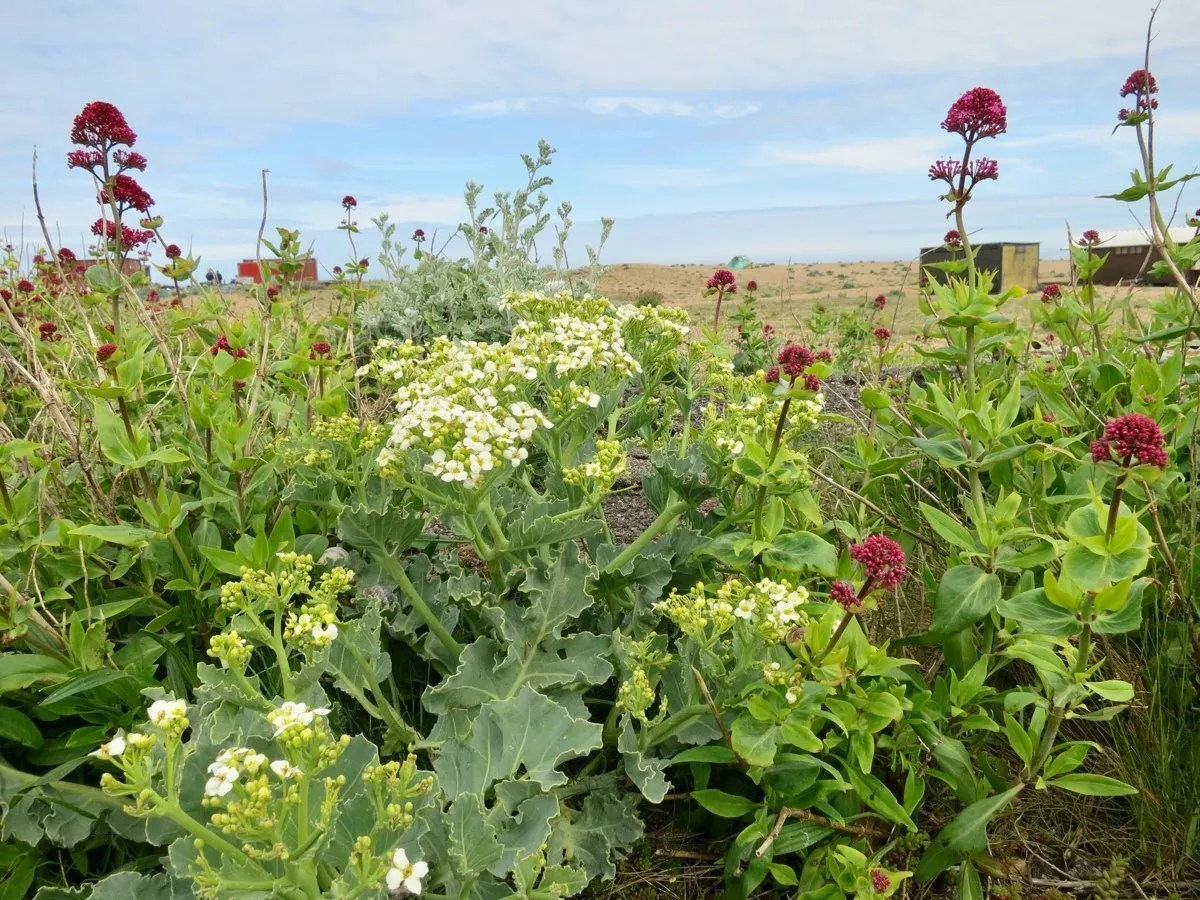 Sea Kale and Red Valarian in flower on shingle beach