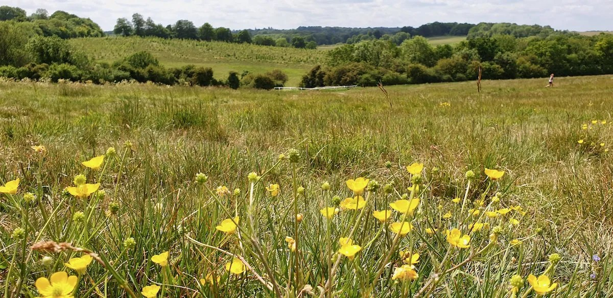 Buttercups in foreground on Epsom Downs looking toward Langley Vale Wood