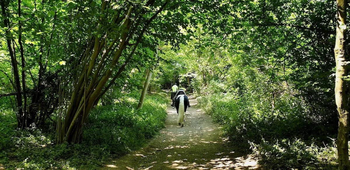 Sheep walk bridlepath with horses