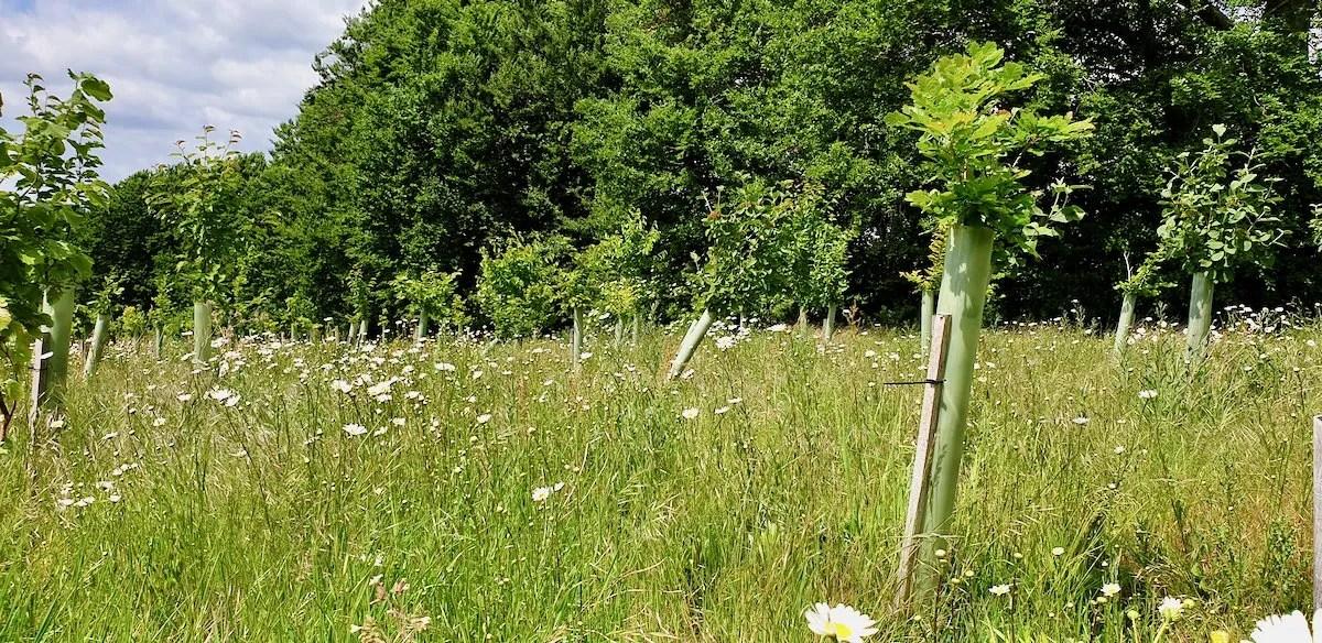 Verdun oak saplings