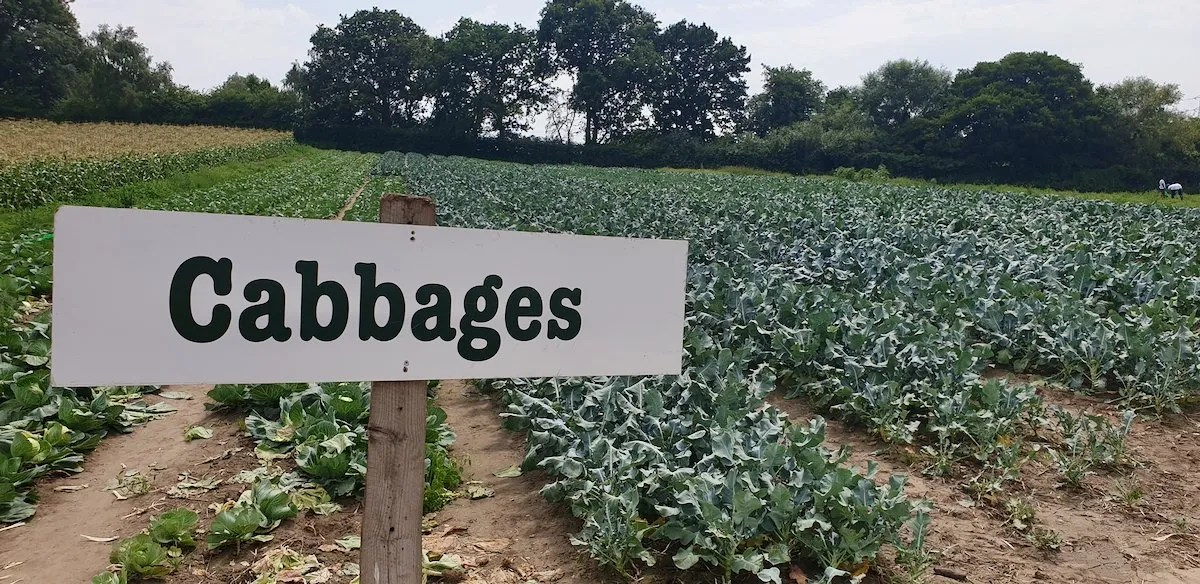 Cabbage pick your own field Surrey