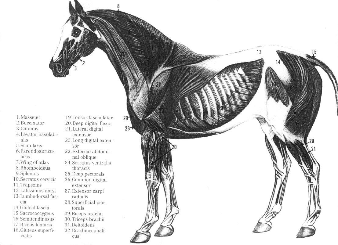 Muscular Diagram Of Horse