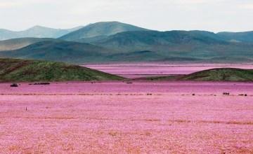 CHILE: ทุ่งดอกไม้บานบนทะเลทราย Atacama ที่แห้งแล้งที่สุดในโลก หลังฝนตกหนักครั้งประวัติศาสตร์