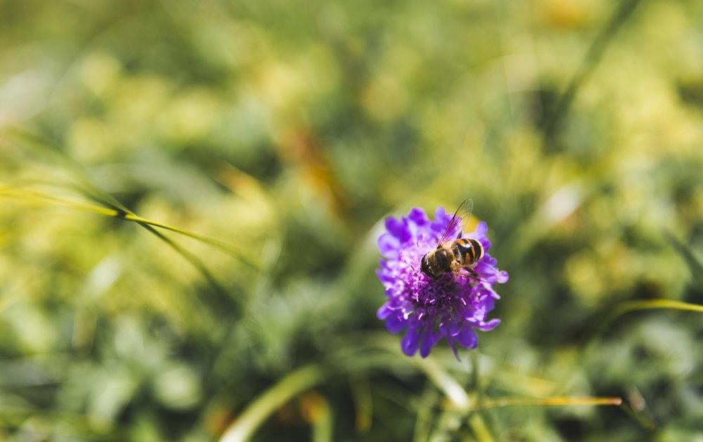 Swiss alpine honeybee