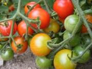 Farandole de tomates cerise colorées