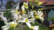 Abeille sur les fleurs de chou