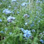 Myosotis bleu !