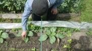 Désherbage des semis