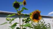 Les tournesols sous un beau ciel bleu !