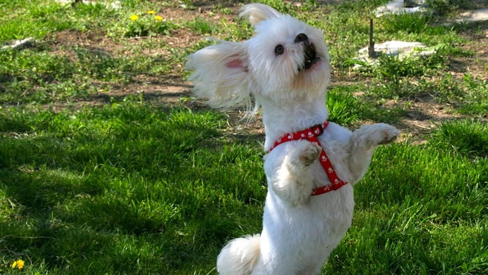 Dancing Dog courtesy of Pixabay