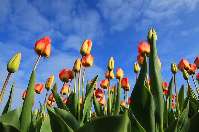 Dutch Experience: Tulips
