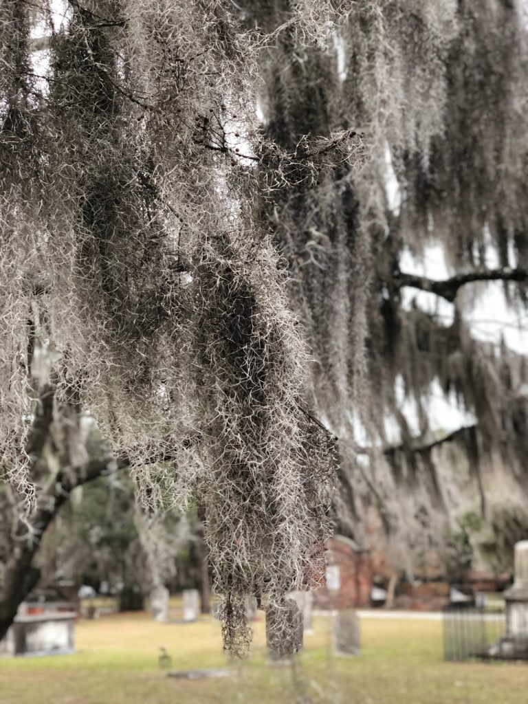 Spanish moss blowing in the wind - Colonial Park Cemetery