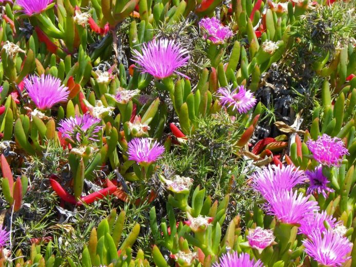 Wildflowers on Rottnest Island Western Australia (Photo credits: Wikimedia.org)