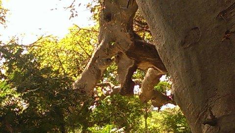 olifantenboom bij Lamin Lodgej