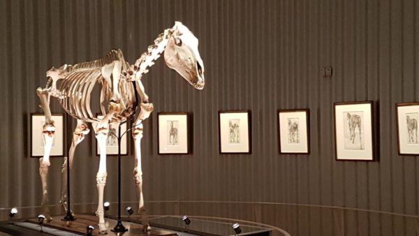 ''The anatomy of the Horse'' en het skelet van Eclipse., Anatomische tekeningen van George Stbbs, met het skelet van Eclipse