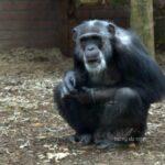 Twee ontsnapte chimpansees plaatsen DierenPark A'foort in vals daglicht