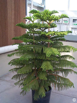 norfolk-pine Norfolk Pine Care House Plant on jasmine plant care, flowers plant care, areca palm plant care, creeping fig plant care, dragon tree plant care, mango plant care, morning glory plant care, african violet plant care, maidenhair fern plant care, easter lily plant care, chinese evergreen plant care, trumpet vine plant care, boston fern plant care, marble queen plant care, boxwood plant care, tulip plant care, asparagus fern plant care, weeping fig plant care, paradise palm plant care, confederate rose plant care,