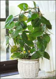 philodendron2