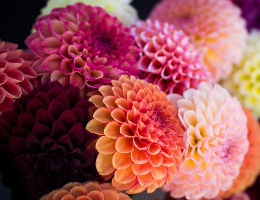 Colorful Dahlias   www.cupcakesandthecosmos.com