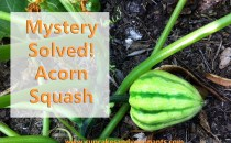 Mystery Solved: Acorn Squash