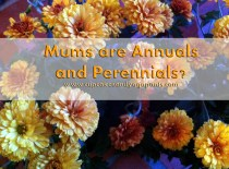 Mums are Annuals and Perennials?