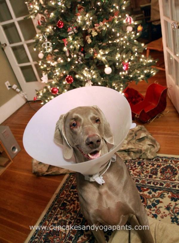Belle wearing a cone