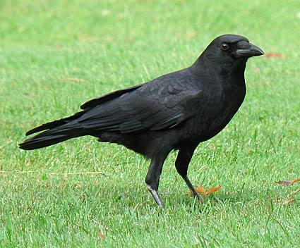 american_crow_8