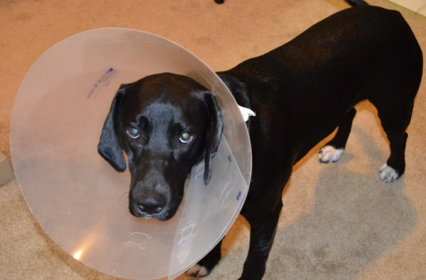 dog with neck cone