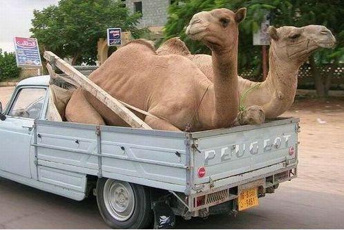Peugeot 404 camels-peugeot