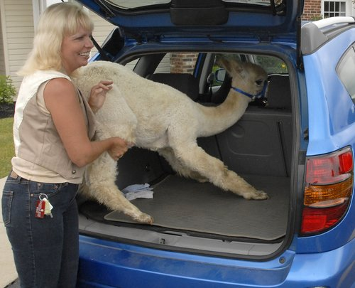 "Debbie Stokes laughes as she tries to push ""Naruto,"" her seven month old alpaca into the back of her Pontiac Vibe Thursday after she and the 70 pound animal visited with residents of Alterra Sterling House. Stokes finally got ""Naruto"" in the car and the animal layed down to enjoy the ride back to their South Vienna farm. Staff photo by Bill Lackey"