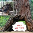 Conservationists and nature lovers were saddened by the collapse of the Pioneer's Cabin Tree in Calaveras Big Tree State Park on January 8, 2017. It had been among a dwindling number of […]