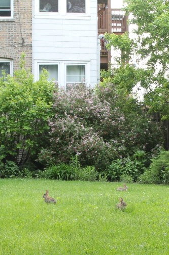Writing with the rabbits. Edgewater, Chicago, Illinois. Wednesday, June 5, 2019.