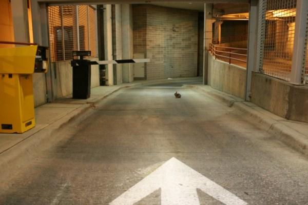 Actual rabbit in a parking garage in Des Moines, Iowa.