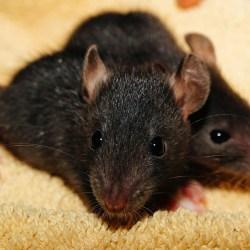 Les rats britanniques... chargés d'explosifs !