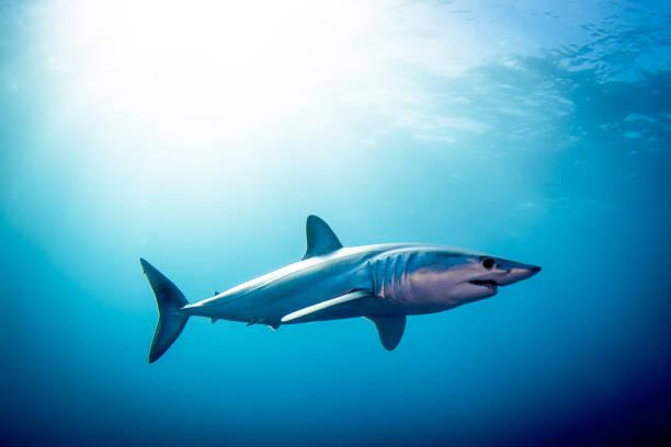 tiburon marrajo
