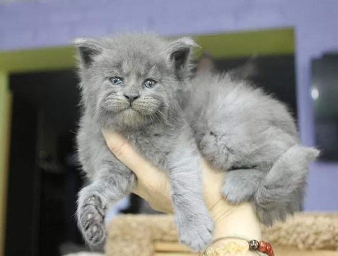 ninhada de gatinhos Maine Coon raça