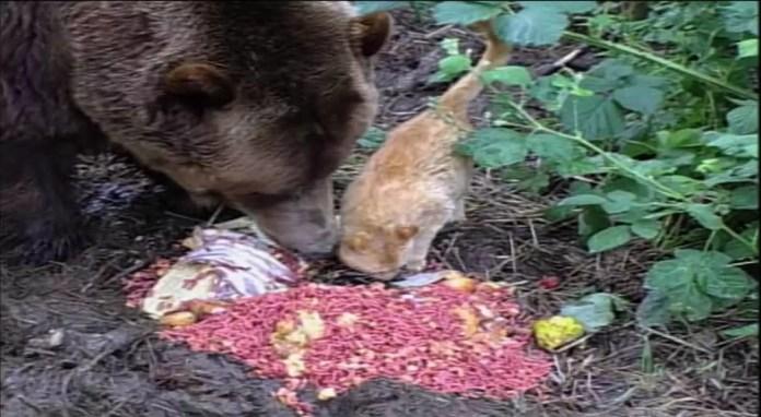 Amizade-entre-gatinho-e-urso-gigante-vídeo