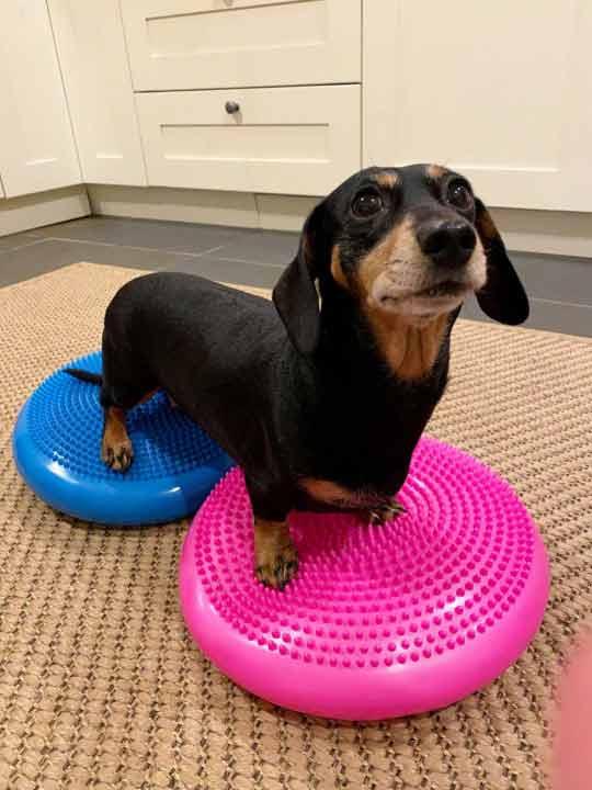 Cachorro-paralisado-recuperação
