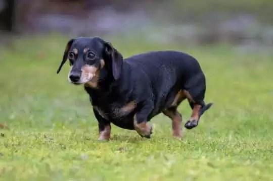cachorro-salsicha