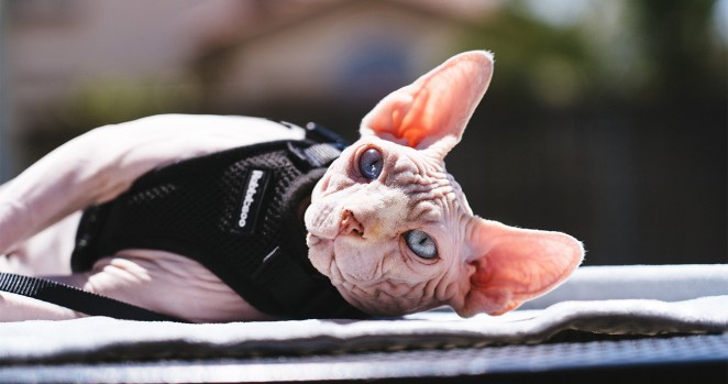 curiosidades sobre gatos sphynx incríveis