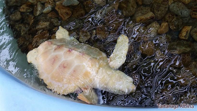 TAMAR - Tartaruga Albina