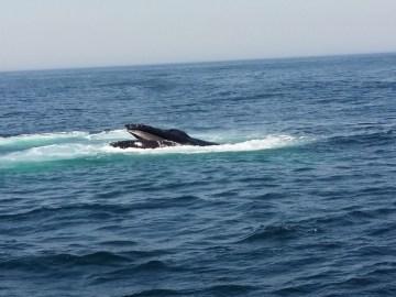 Whale Watch a Cape Cod