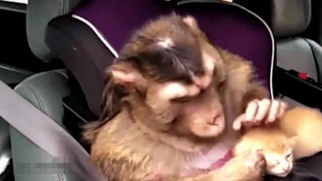 Increíble mono limpiando un gato bebé y vinculándose con el gatito