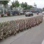 INCREÍBLE VÍDEO: La invasión de patos