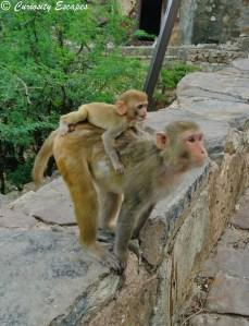 Famille de singes sur la route du Galta Ji, Jaipur